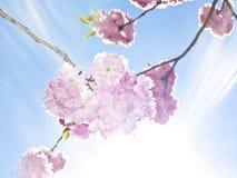 Spring background - sakura Royalty Free Stock Photo