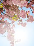 Spring background with sakura flowers Royalty Free Stock Photography