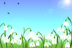 Spring background with snowdrop flowers, green grass, swallows and blue sky. Royalty Free Stock Photography