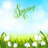 Spring background with snowdrop flowers, green grass, swallows and blue sky. Royalty Free Stock Image