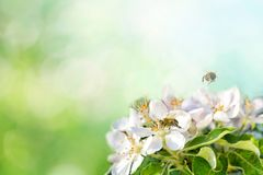 Spring background sunlight wiyh Bee on a flower of the white blossoms. Space for text. Spring background sunlight wiyh Bee on a flower of the white blossoms royalty free stock image