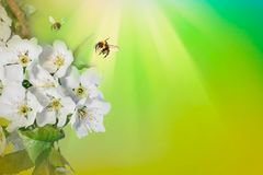 Spring background sunlight wiyh Bee on a flower of the white blossoms. Space for text. Spring background sunlight wiyh Bee on a flower of the white blossoms royalty free stock photos
