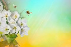 Spring background sunlight wiyh Bee on a flower of the white blossoms. Space for text. Spring background sunlight wiyh Bee on a flower of the white blossoms stock image
