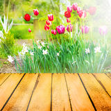 Spring background tulips narcissi wooden panel Stock Images