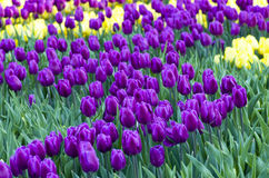 Spring background with tulips Royalty Free Stock Photography