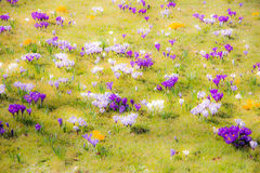 Spring background with various crocus flowers Royalty Free Stock Photo