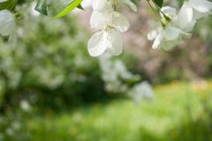 Spring background with white apple tree flowers and blurred green background with diagonal horizon line. stock photo