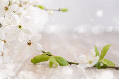 Spring background with white blossoms Royalty Free Stock Photography