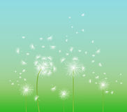 Spring background with white dandelion Royalty Free Stock Photos