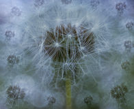 Spring  background.  White Dandelion flowers on a blured blue background. Closeup. For design. Nature Royalty Free Stock Photo