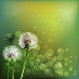 Spring background with white dandelion. Royalty Free Stock Photo