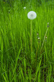 Spring background with white dandelions. Background with white dandelions Stock Photo