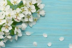 Spring background with white flowers blossoms on blue wooden background. top view Royalty Free Stock Image