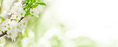 Spring background, white blossoms as banner. Spring background, white flowers before Bokeh as banner royalty free stock image
