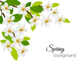 Spring background with white flowers.  Royalty Free Stock Images