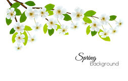 Spring background with white flowers. Royalty Free Stock Photos