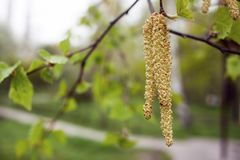 Free Spring Background With Branch Of Birch Catkins Royalty Free Stock Photo - 114788845