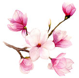 Spring Background With Watercolor Magnolia Flower Stock Photography