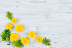 Spring background. Yellow dandelion flowers and green leaves on light blue wooden board with copy space, top view. royalty free stock photography