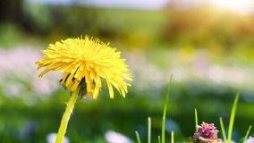Spring background with yellow dandelion. 4K stock video footage