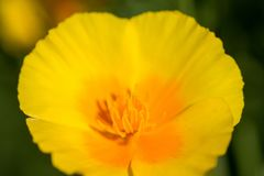 Spring background. Yellow flower blossoms close up. Stock Photography