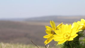 Spring background with yellow flowers stock footage