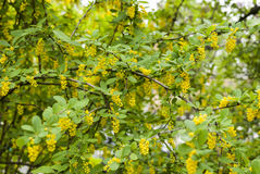Spring background with yellow flowers tree branches Royalty Free Stock Photo