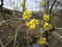 Spring background with yellow flowers tree brunches Stock Photos