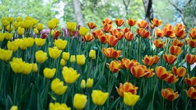 Tulip Flowers Blooming Garden Bed on Spring Season Nature Scene. Beautiful Group of Various Colorful Tulips at the Garden Field, stock images