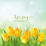 Spring Background with Yellow Tulips Royalty Free Stock Photography