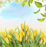 Spring background with yellow tulips, sky and green foliage Royalty Free Stock Photography