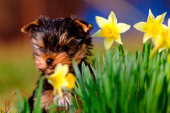 Spring background with Yorkshire Terrier Stock Photography