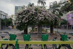 Bougainvilleas at Bandeirantes square in Goiania city stock photo