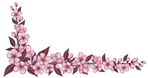 Spring banner with cherry flower drawing isolated on white. Spring banner with pink cherry flower, bud and leaf drawing isolated on white Royalty Free Stock Image