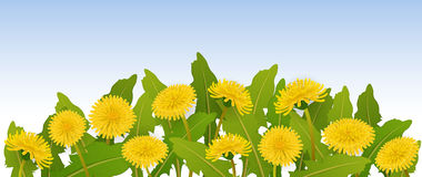 Spring banner with dandelion flowers. Horizontal spring banner with yellow dandelion flower  and leaf Stock Photos