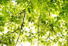 Spring banyan leaves. Sprouting new leaves of the banyan tree,verdure green lovely burgeoning twigs and leaves, in the spring rain Stock Photo