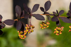 Spring barberry close-up Royalty Free Stock Images