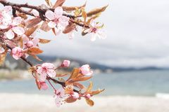 Spring in Bariloche, cherry blossom stock photo