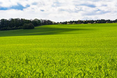 Spring barley. And forest in background Stock Images