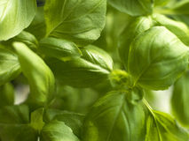 Spring of basil in the sun Stock Images