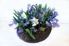 Spring basket with blue snowdrops. Spring handmade basket with blue snowdrops and freesia. Siberian forest Stock Image