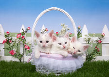 Spring basket with three white kittens in a garden Royalty Free Stock Photos