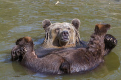 Spring Bear Bath Royalty Free Stock Photography
