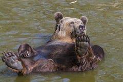 Spring Bear Bath Royalty Free Stock Photo