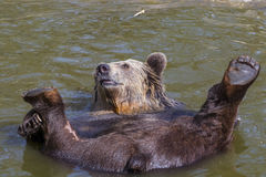 Spring Bear Bath Stock Photo