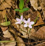 Spring Beauties Wildflowers - Claytonia virginica. Spring beauties are small low-growing wildflowers that are found in a star-like cluster of five white to light royalty free stock photos