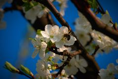 Spring. Beautiful blossom tree, blue sky and bee stock photo
