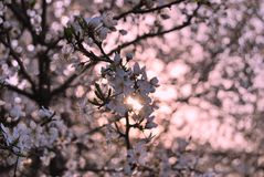 Spring. Beautiful blossom tree with sunset background stock images