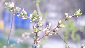 Spring beautiful blossoming apple-tree or cherry branches. Springtime background. Close up. Spring branch of a tree, with blossomi Royalty Free Stock Images