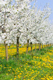 Spring in beautiful bud flower orchard tree blossom Royalty Free Stock Images